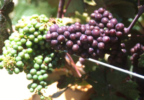 Grapes for grape seed extract