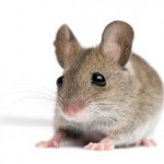 Telomerase study on Mice